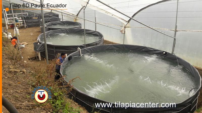 Tanques geomembrana Tilapia instalado en Paute Ecuador